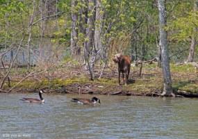 dog&geese2