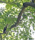 hawk on branch
