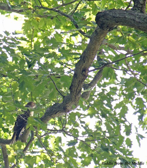 hawk on branch