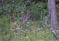 Teton mule deer