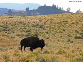 American bison - Yellowstone park