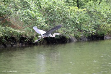 heron flight4
