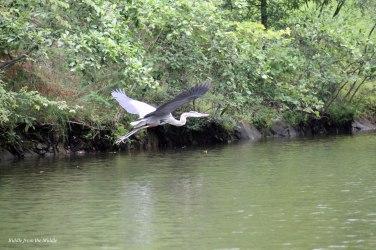 heron flight4