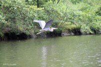 heron flight5