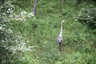 heron flight8