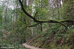 Muir Woods 3