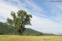 field,tree,mountains