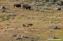 Yellowstone bison trio