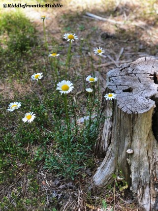 tree stump&daisy