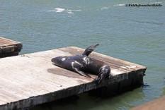 sea lion sunning